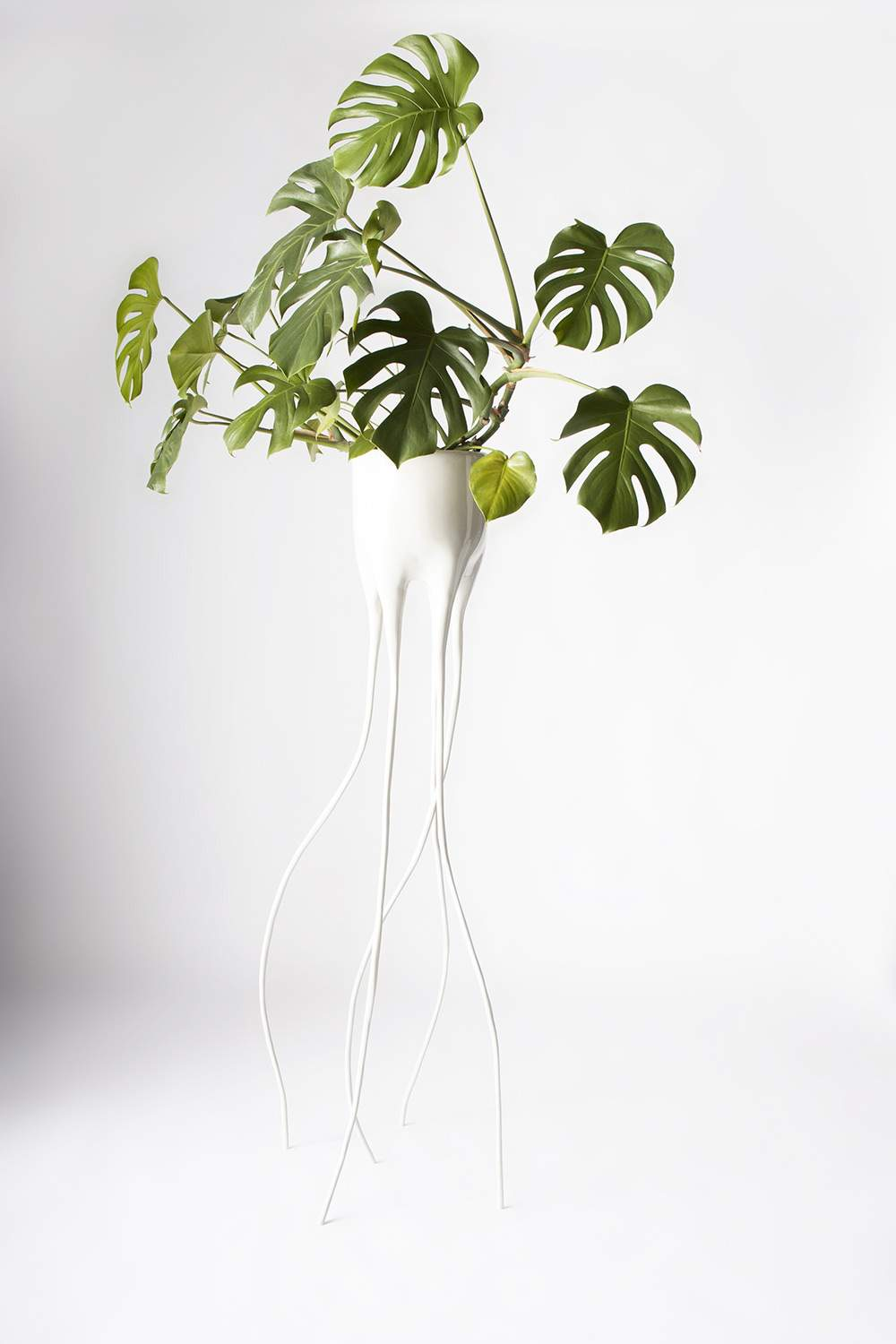 Monstera_Magnifica